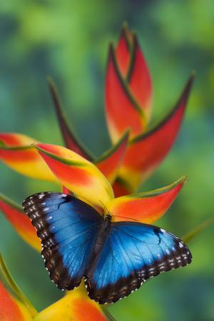 Blue Morpho on a Heliconia Flower