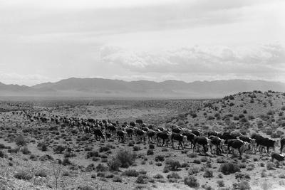 Cattle Drive through Desert