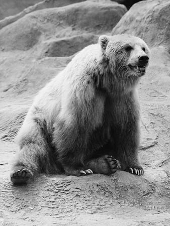 Kodiak Bear in Zoo