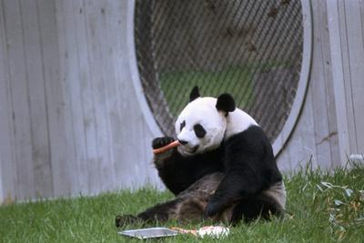 Ling Ling Enjoying a Carrot at the Zoo