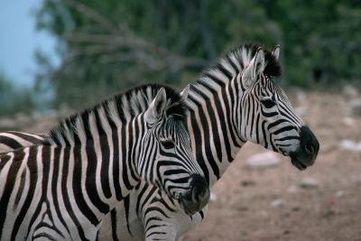 Zebras in Grassy Area
