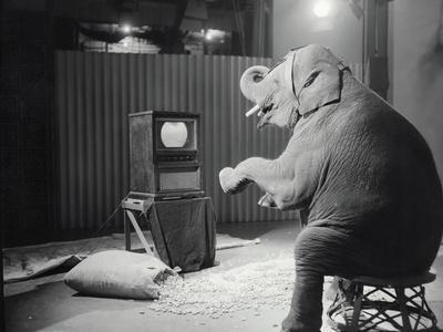 Elephant Watching Television