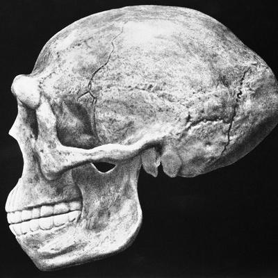 Reconstructed Skull of Prehistoric Man