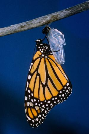 Monarch Butterfly Emerging from Cocoon
