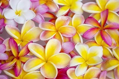 Colorful Plumeria Blossoms, Maui, Hawaii