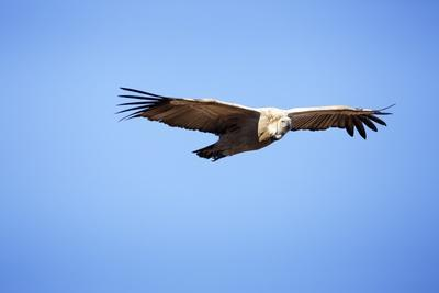 Cape Vulture South Africa