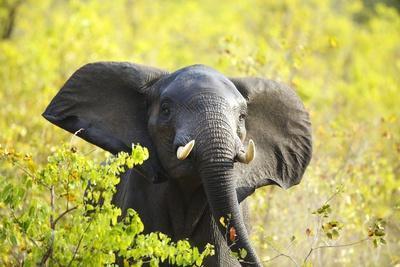 Elephant Bull, South Africa
