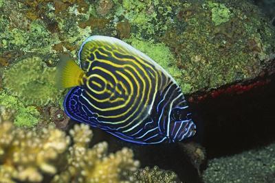 Emperor Angelfish in Intermediate Form