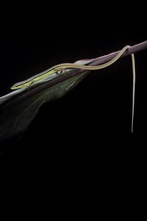 Takydromus Sexileatus (Oriental Six-Lined Runner, Long-Tailed Lizard)
