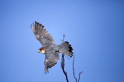 Rednecked Falcon, South Africa