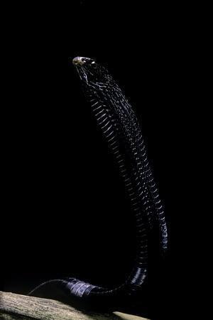 Thrasops Jacksonii (Black Tree Snake)