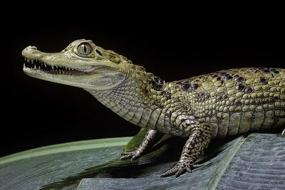 Caiman Crocodilus) (Spectacled Caiman)