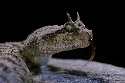 Cerastes Cerastes (Horned Viper)
