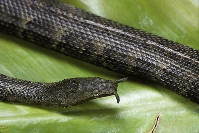 Erpeton Tentaculatum (Tentacled Snake)