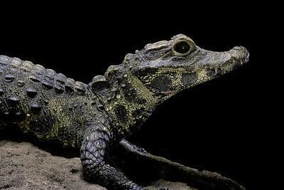 Osteolaemus Tetraspis (Dwarf Crocodile)