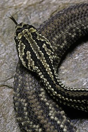 Crotalus Durissus Terrificus (Cascabel or South American Rattlesnake)