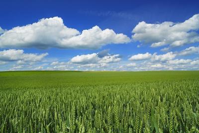 Wheat Field and Cumulonimbus Clouds, Bavaria, Germany