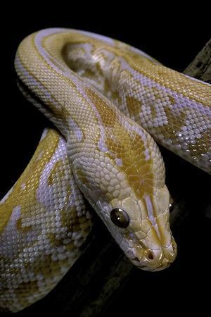 Python Molurus Bivittatus F. Labyrinth Albino