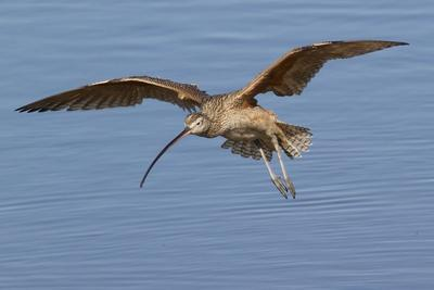 Long-Billed Curlew Landing