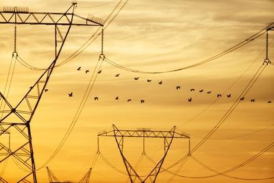Spurwing Geese and Powerlines, South Africa