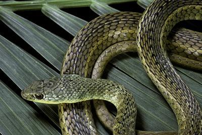 Psammophis Sibilans (Striped Sand Racer)