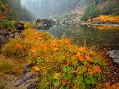 Indian Rhubarb in Fall Color along the Wild & Scenic Illinois River in Siskiyou National Forest, Or