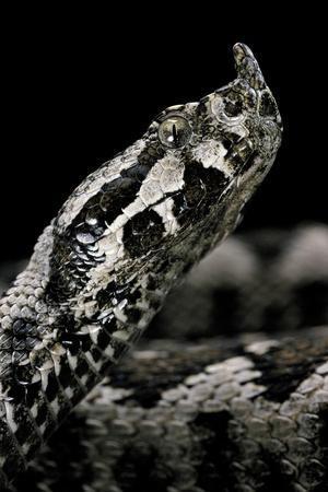Vipera Ammodytes (Nose-Horned Viper)