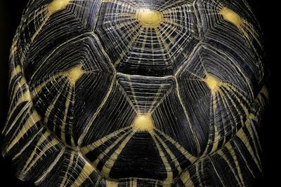 Geochelone Radiata (Radiated Tortoise)