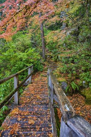 Path through Red Vine Maple in Full Autumn Glory