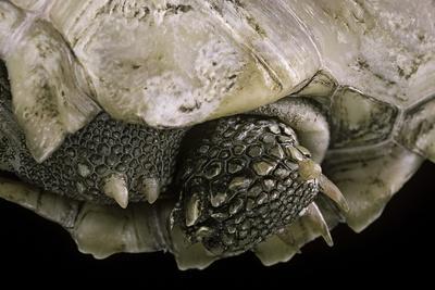 Geochelone Sulcata (African Spurred Tortoise)