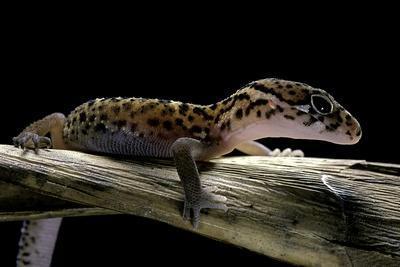 Coleonyx Mitratus (Banded Gecko)