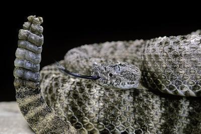 Crotalus Tigris (Tiger Rattlesnake)