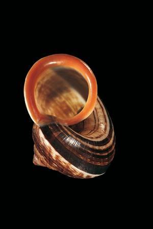 Calocochlia Pyrostoma