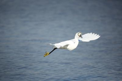 Little Egret, South Africa