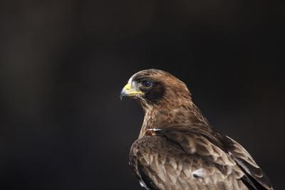 Booted Eagle, South Africa