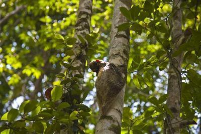 Colugo or Flying Lemur (Galeopterus Variegatus) on a Tree