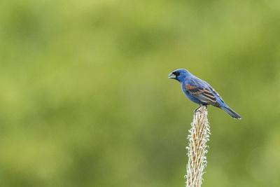Blue Grosbeak Perching on Plant
