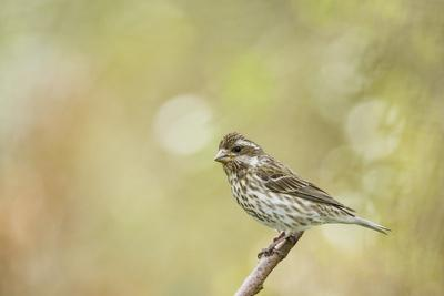 Side View of Female Purple Finch Perching on Branch
