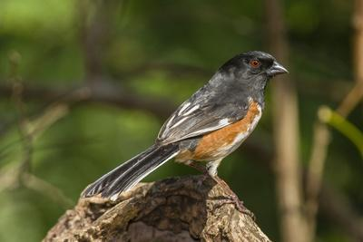 Side View of Rufous Towhee Perching on Rock
