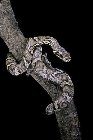 Elaphe Schrencki Schrencki (Amur Rat Snake)