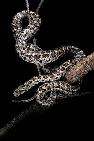 Elaphe Situla (Leopard Snake)
