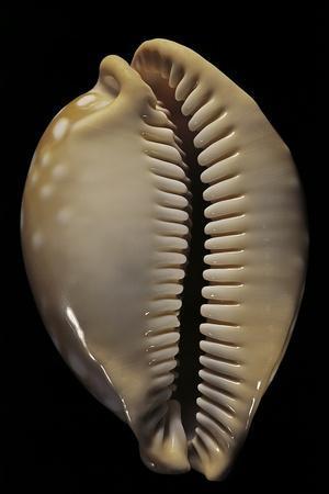 Cypraea Leucodon