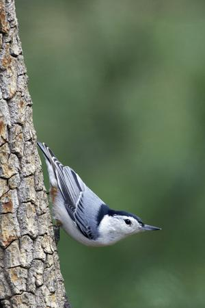 White-Breasted Nuthatch Perching on Tree Trunk