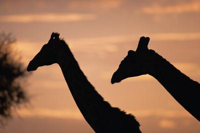 Masai Giraffes, Female and Male, against Morning Sky