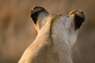 Back of Lioness' Head