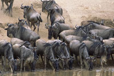 Wildebeest Drink from Mara River