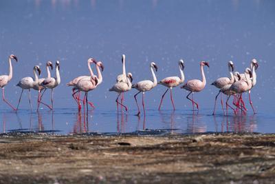 Lesser Flamingoes Walking along Lake Shore