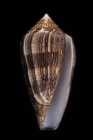 Conus Cholmondeleyi