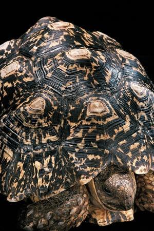 Geochelone Pardalis (Leopard Tortoise)