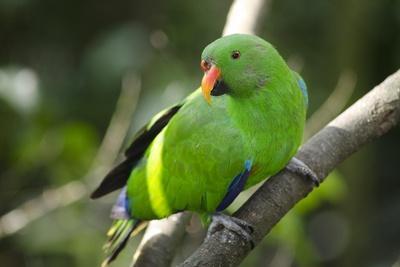 The Eclectus Parrot (Eclectus Roratus), Indonesia